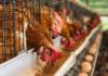 Poultry Farm Kaise Khole